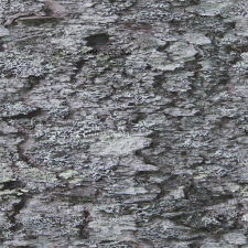 Pine tree bark with lichen, Location: Maine, USA