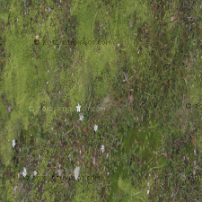 This is a texture of soft moss with grass and small white flowers. Location: Maine: USA